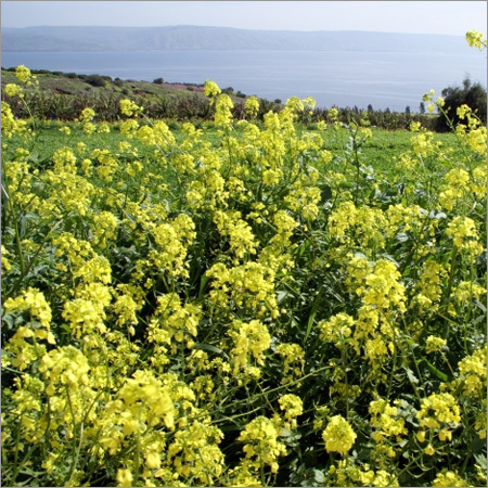 Hybrid Mustard Seeds