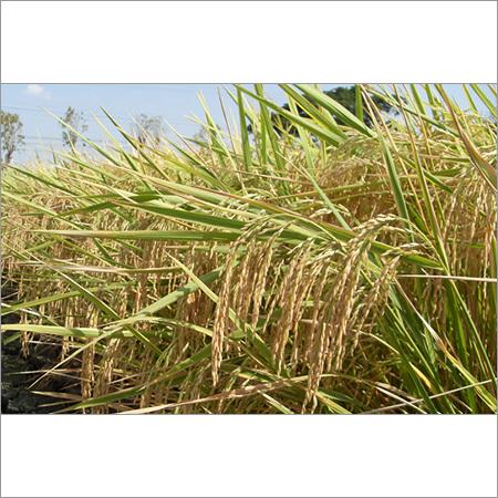 Pusa Paddy Seeds