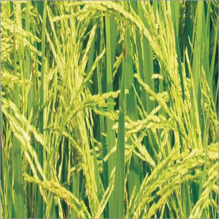 Mallika Paddy Seeds