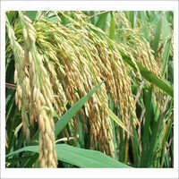 Paddy Rice Seeds