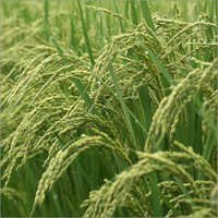 Basmati Paddy Seeds