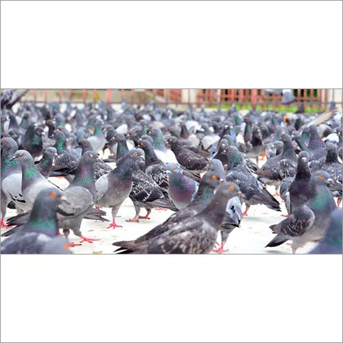 Bird Pest Control