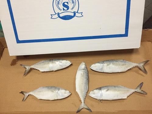 Indian Mackerel Exporter