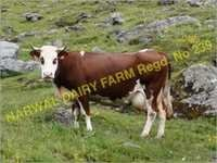 Karan Swiss Cow Supplier