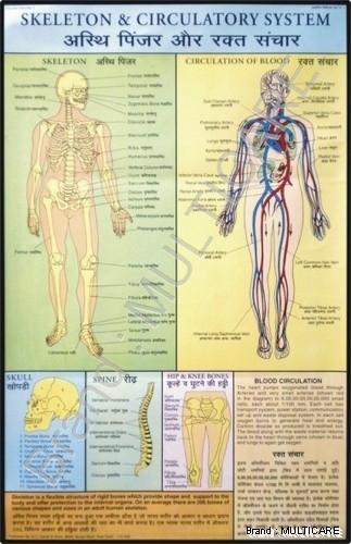 Skeleton & Circulatory System Chart