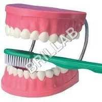 HUMAN DENTAL CARE MODEL