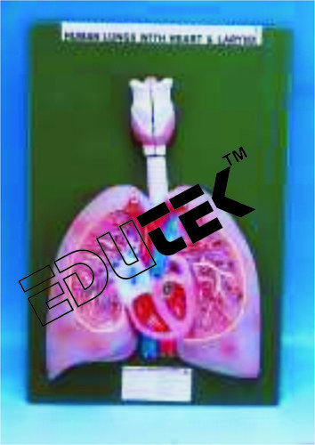 Human Heart With Lungs And Larynx