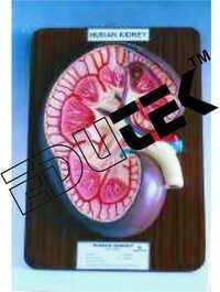 Human Kidney