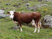 Swiss cattle Cow