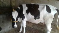 Black & White HF Cows