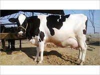 HF Cow Diary Farm
