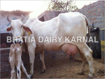 Haryana Cow
