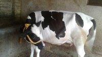 Australian HF Cows