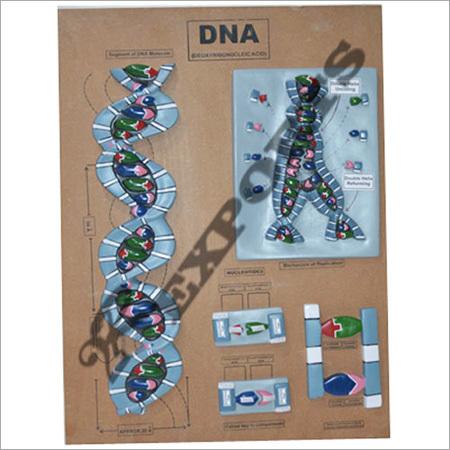 Dna Model Dna Model Exporter Manufacturer Supplier Ambala