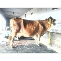 Sahiwal Cow Dairy Farm