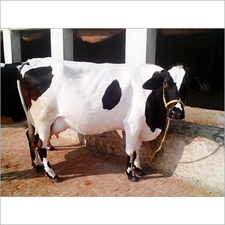 Cross Breed Cows