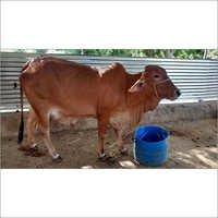 Hisar Sahiwal Cow