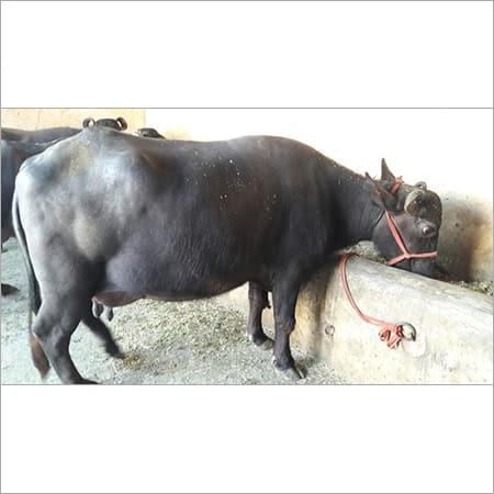 Graded Murrah Buffalo