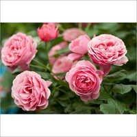 Rose Otto Oil