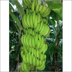 Fresh Fruit Banana