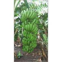 Indian Green Banana