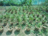 Fruit Tree Plantation