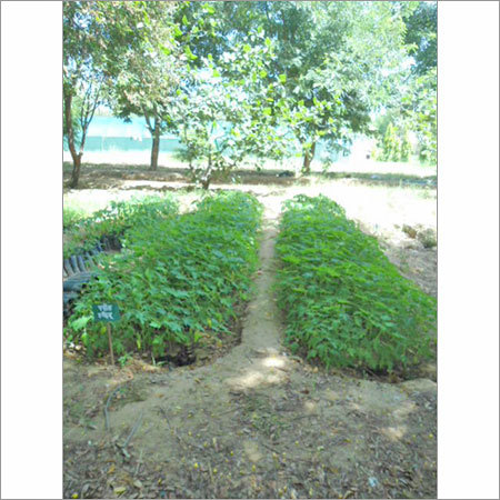 Flower Tree Plantation