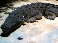 FRP Animal - Crocodile