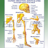Human Skeleton Joints And Limbs