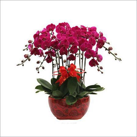 Phalaenopsis Plants