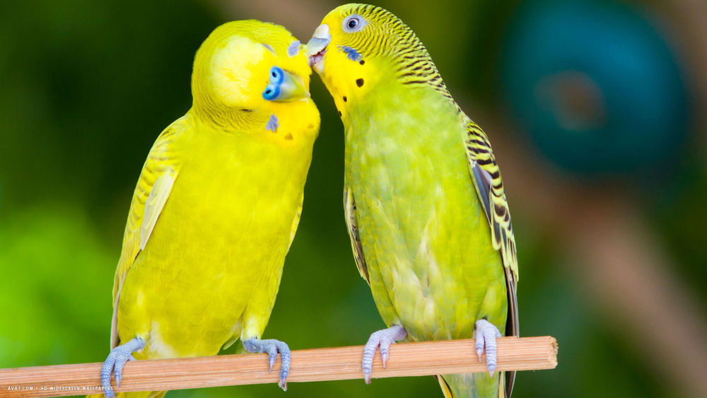 Lover Bird Breeder Feed