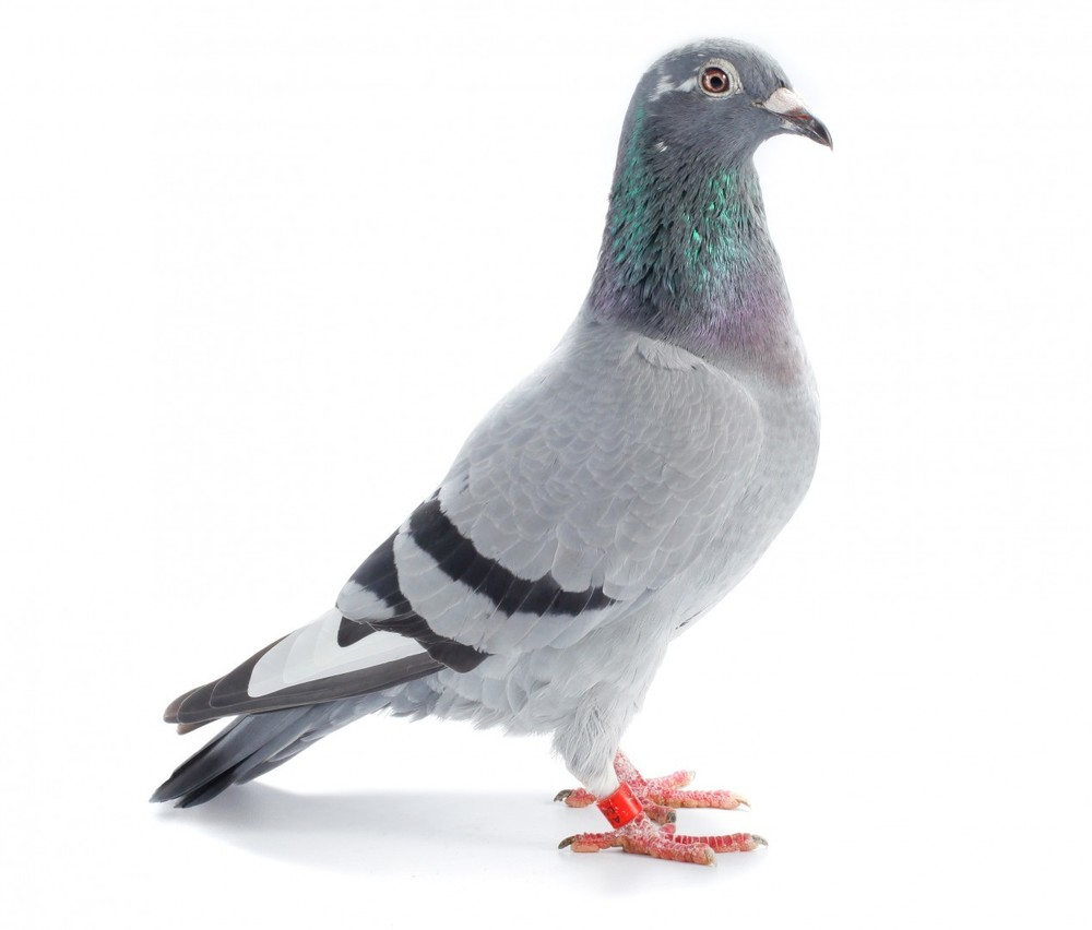 Racing Pigeon Feed Manufacturer & Supplier in Gujarat,India