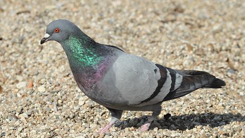 Pigeon Feed