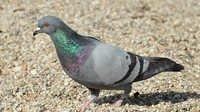 Pigeon Breeder Feed