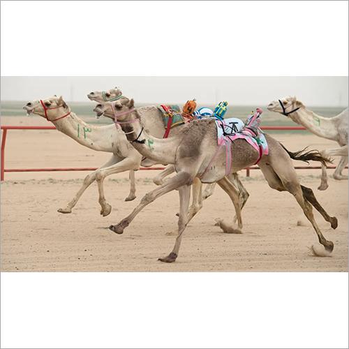 Racing Camel Feed