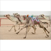 Racing Camel Feed