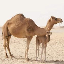 Camel Breeder Feed