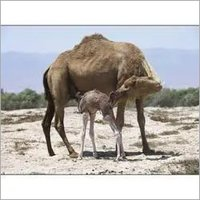 Dairy Camel Feed