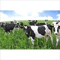 supplementary feeding cattle