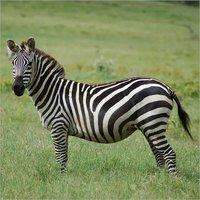 Zebra Feed