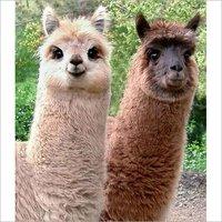 Llama Feed