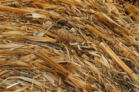 Yellow Corn Hay