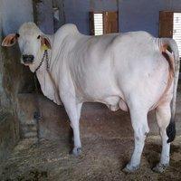 Breeder Tharparkar cow