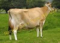 Jersey Cattle Cow