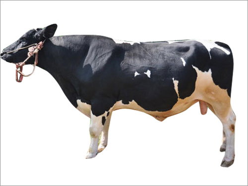 Holstein Bull Semen