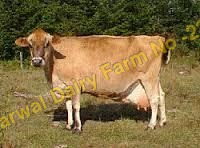 Jersey Cow Supplier