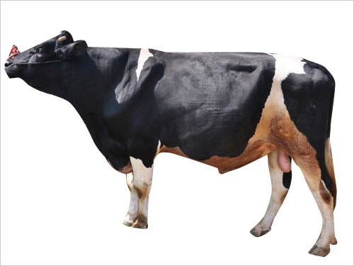 Pure HF Bull Semen