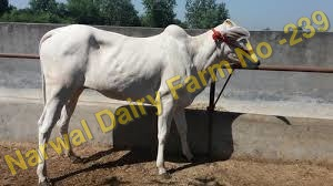 Haryana Tharparkar Cow
