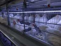 Breeder Battery Cages