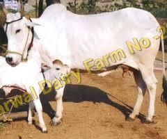 Haryana Cow Supplier